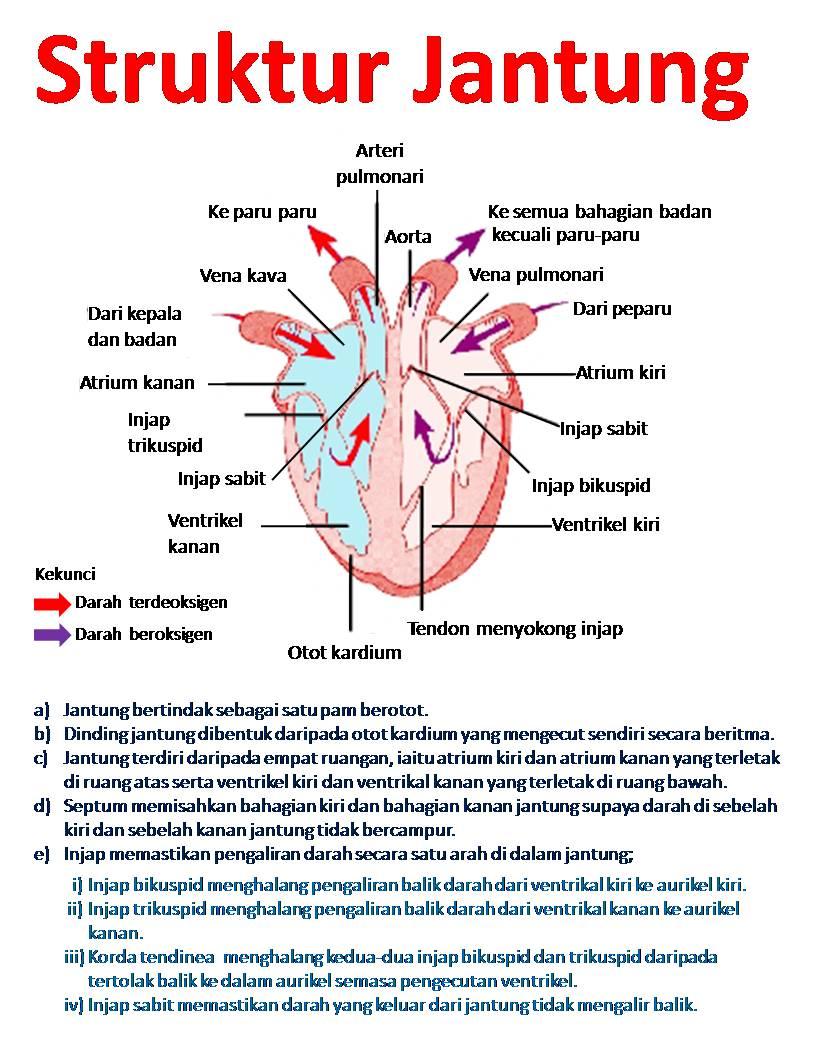 Sistem Peredaran Darah Manusi Sendydesvariyona